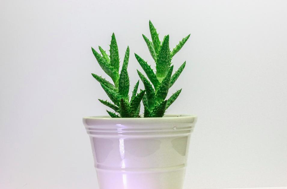 Как посадить отросток кактуса без корней
