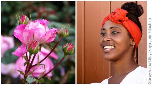 Роза полиантовая маскарад