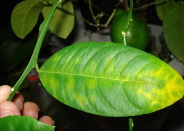 У лимона скручиваются листья что делать