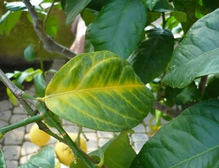Основные причины, вызывающие пожелтение листьев у лимона