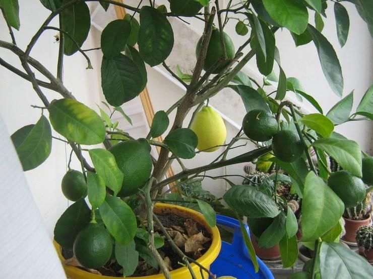 Пожелтение и увядание листвы часто являются последствием перенесенного растением стресса.
