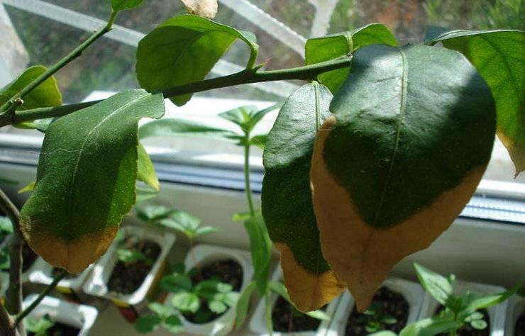 Полноценное питание – важная составляющая роста и развития лимона в комнатных условиях.