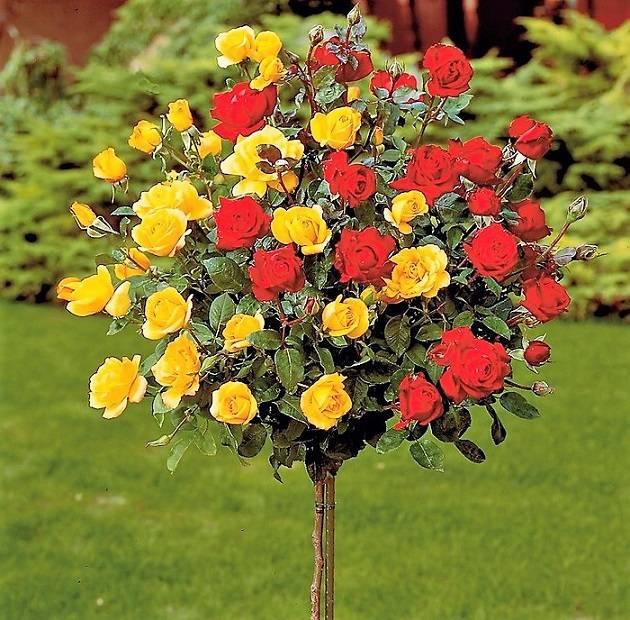 Розы желто красные