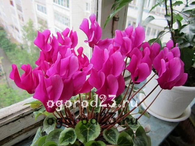 Цветок цикламен уход в домашних условиях
