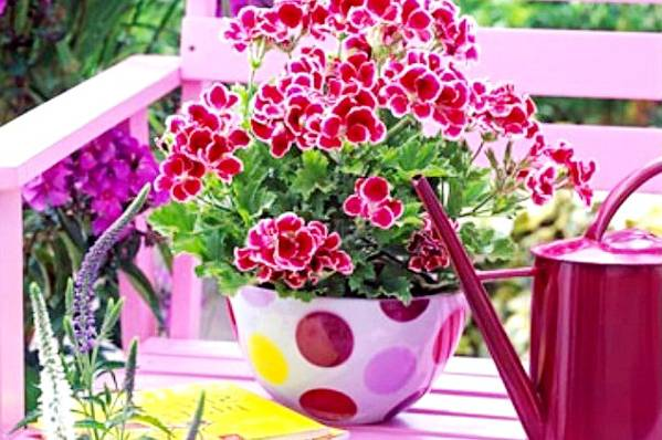 Чем подкормить пеларгонию для обильного цветения