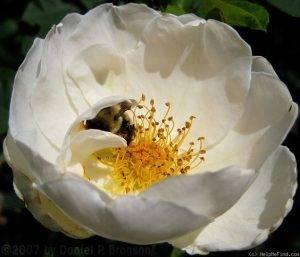 Остинки розы