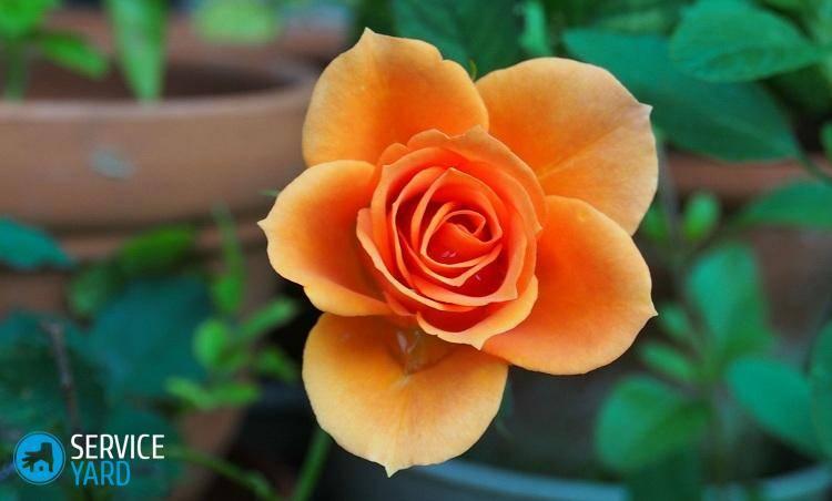 Роза в горшке уход