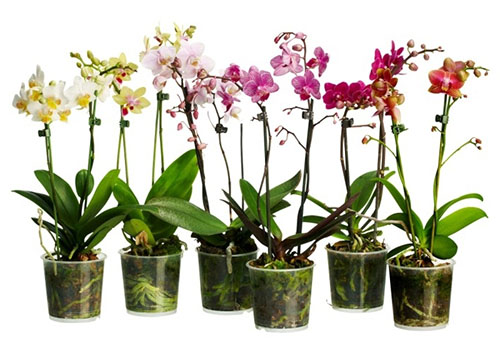 Как садить семена орхидеи в домашних условиях