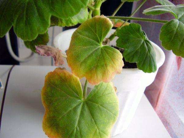 Почему желтеют листья на комнатных цветах