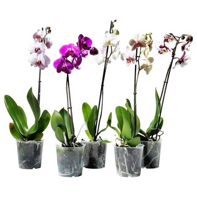 Орхидею залили что делать