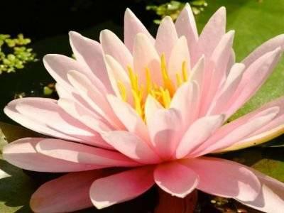 Белые водяные лилии