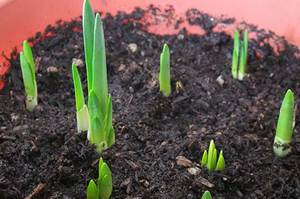 Когда пересаживать тюльпаны после цветения