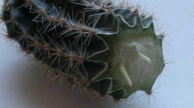 Как посадить детку кактуса без корней