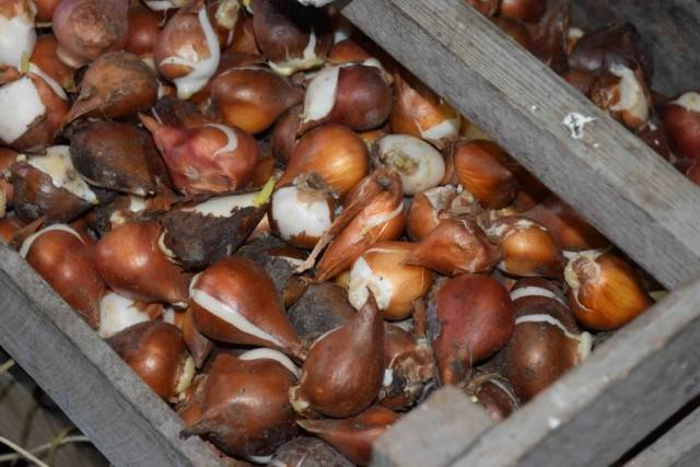 Тюльпаны выращивание и уход когда выкапывать