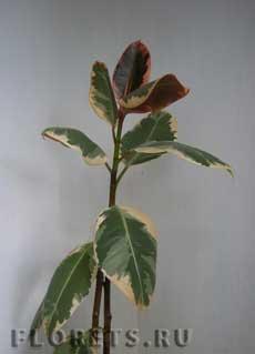 Болезни фикусов пятна на листьях