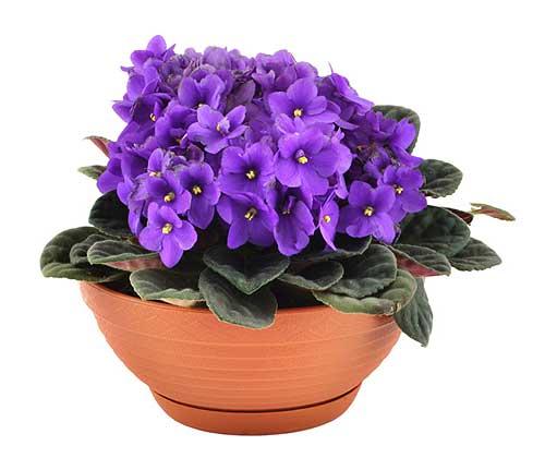 Распространенные комнатные цветы