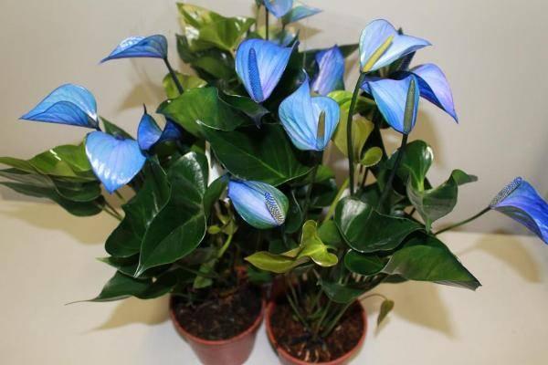 Антуриум с голубыми цветками