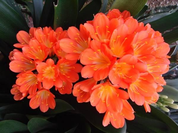 Яркие цветы кливии