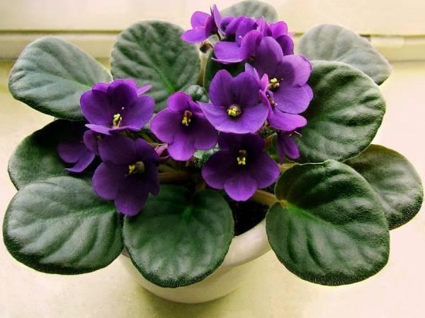 Фиалка - очень популярный цветок