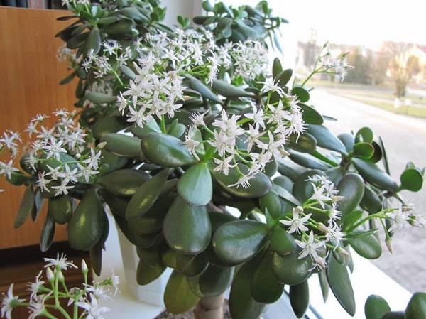 Когда цветет денежное дерево в домашних условиях