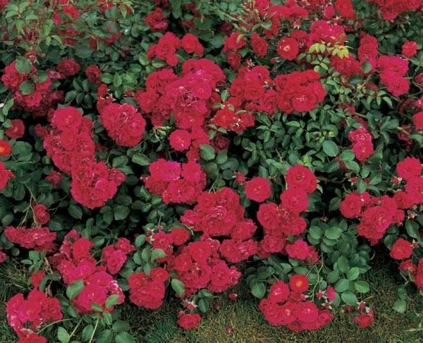 Почвопокровные розы Хэллоу (Hello)