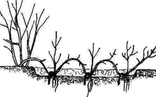 Схема размножения почвопокровных роз отводками