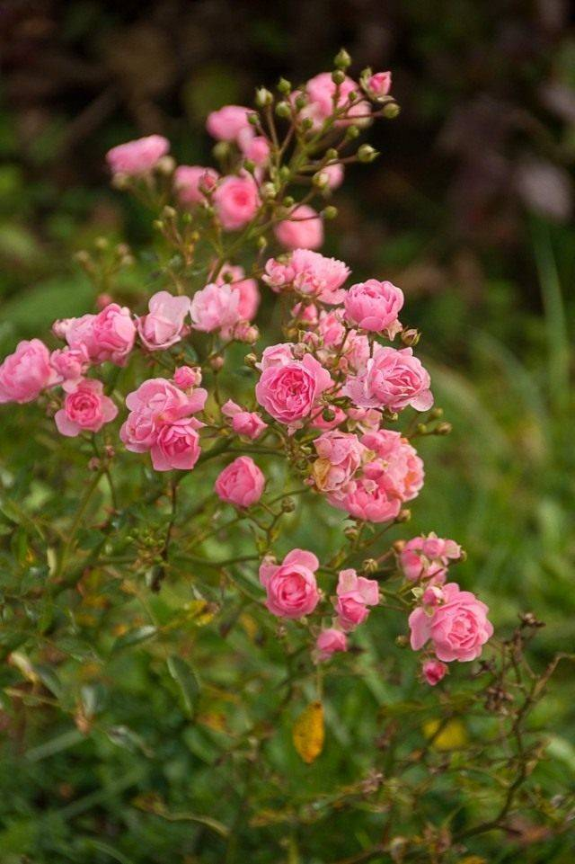 Роза почвопокровная ред фейри