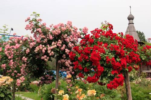 Схема посадки роз