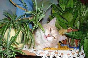 Хлорофитум растение