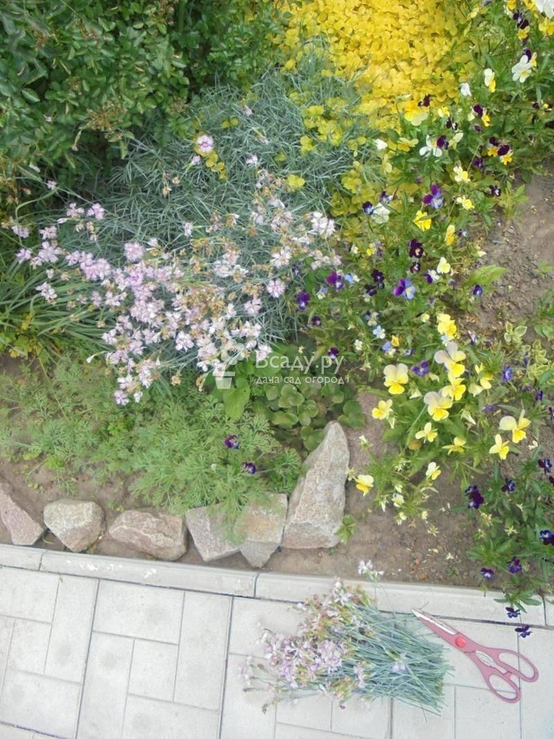 Садовая гвоздика