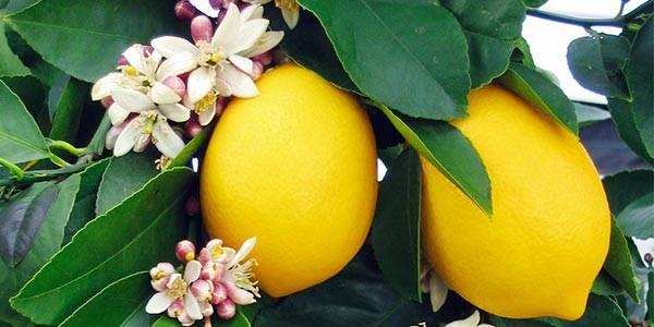 Лимонное дерево домашнее