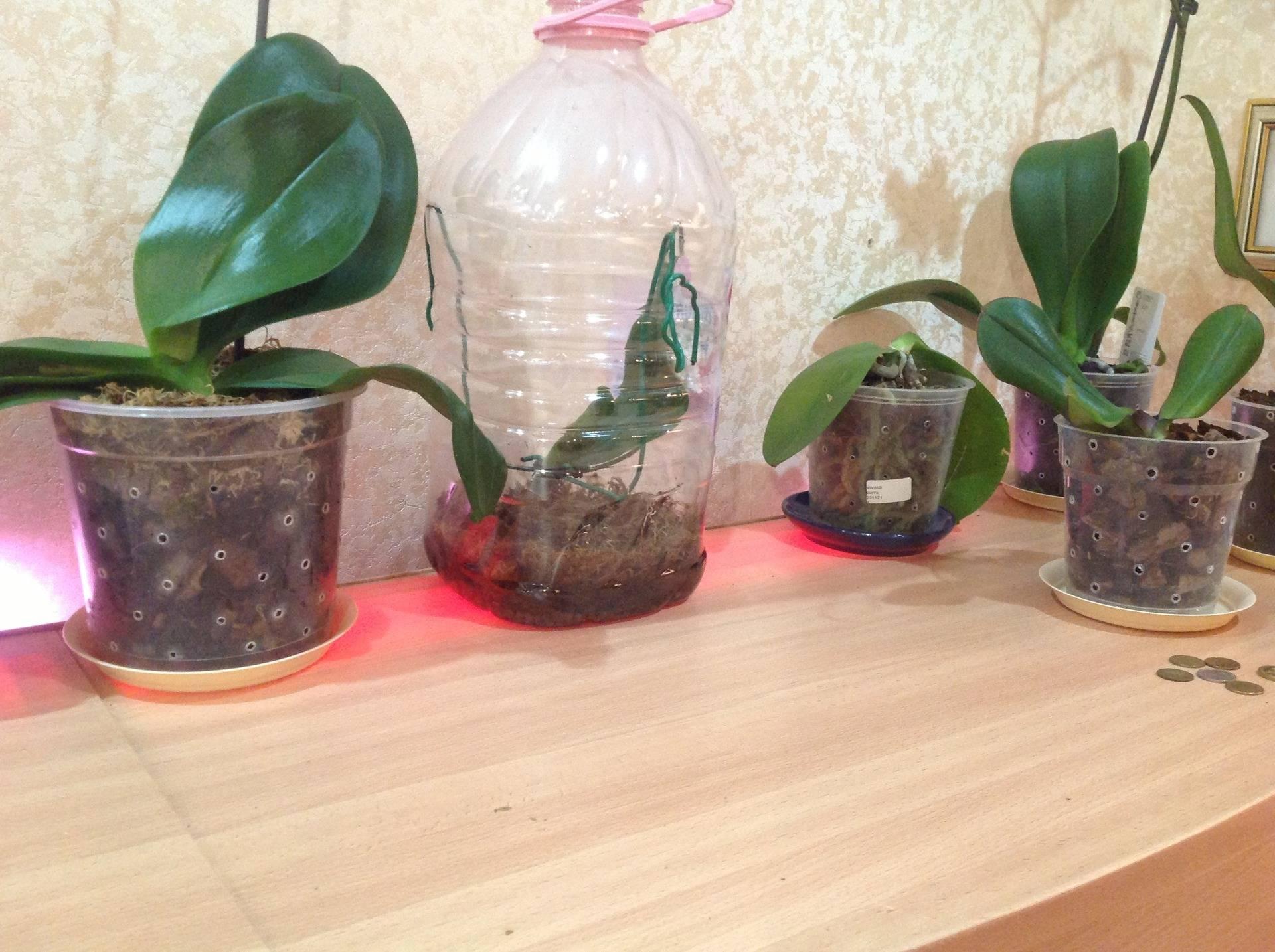 Как выглядит детка у орхидеи