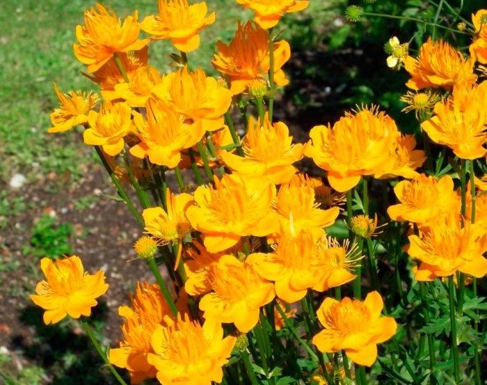 5bfad515a62b75bfad515a64b2 Купальница азиатская — Все цветы