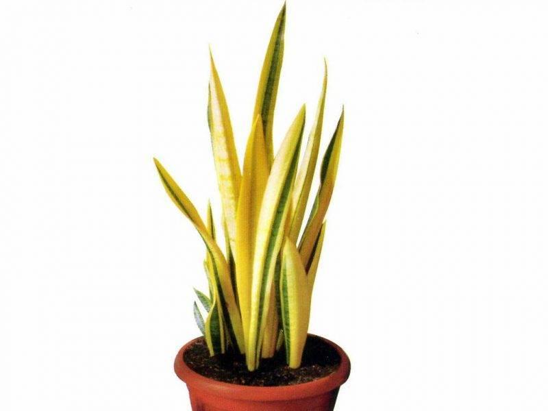 Тещин язык комнатное растение