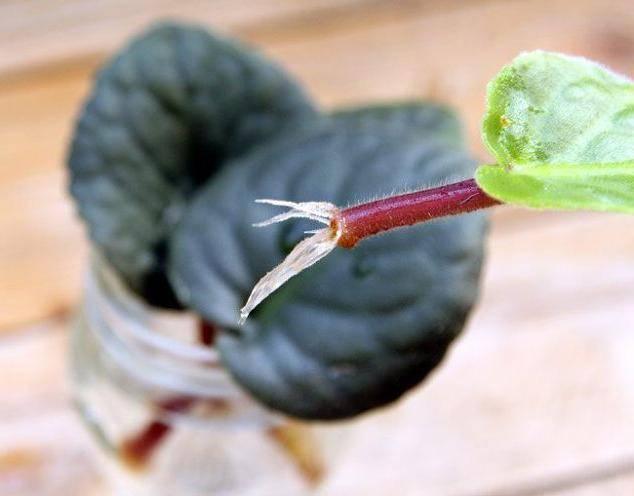 как укоренить лист фиалки в земле