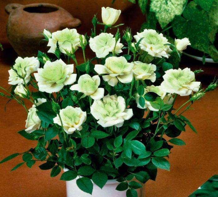 Комнатная роза бенгальская