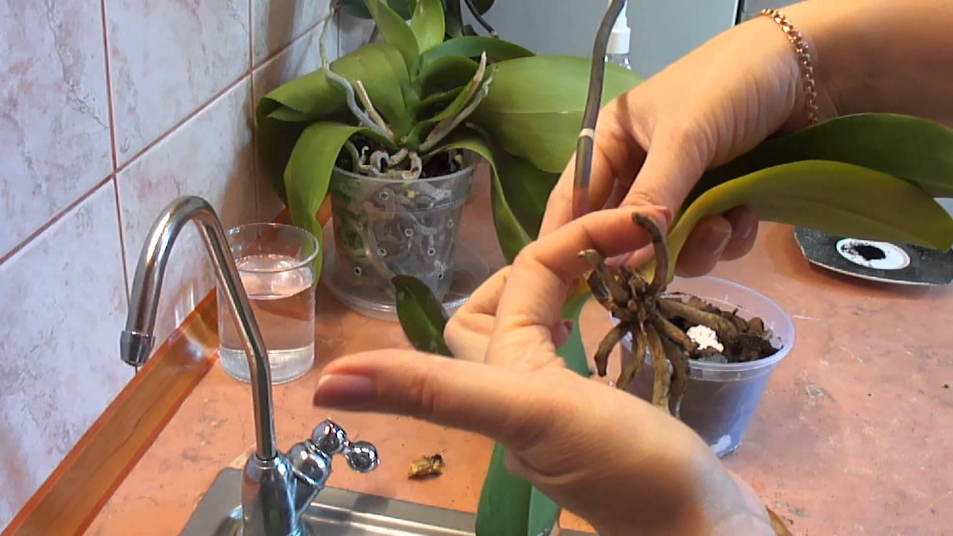Как оживить орхидею