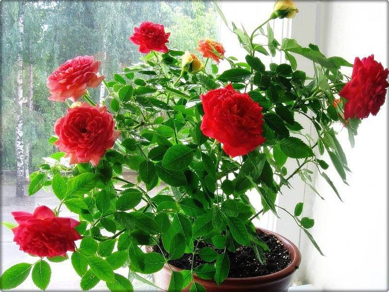 Почему не цветет домашняя роза