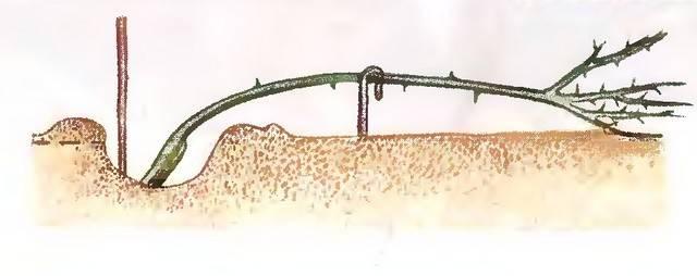 Rosarium uetersen розариум ютерсен