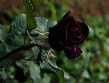 Роза блэк баккара