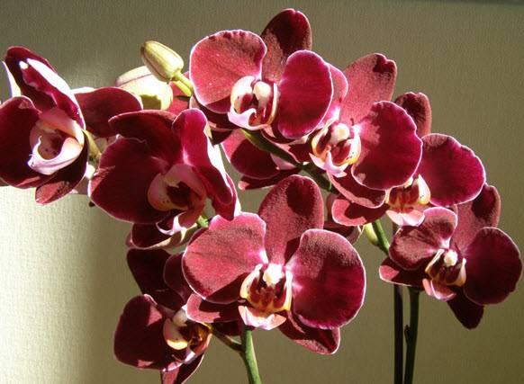 Орхидеи выращивание и уход в домашних условиях
