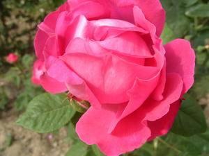 Розы длинные