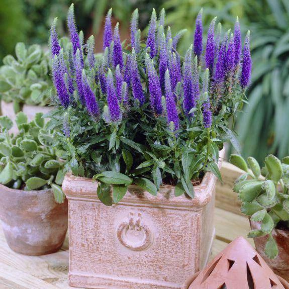 Вероника растение описание