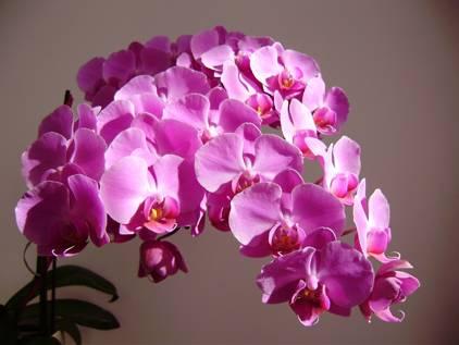 Почему у орхидеи сохнут воздушные корни
