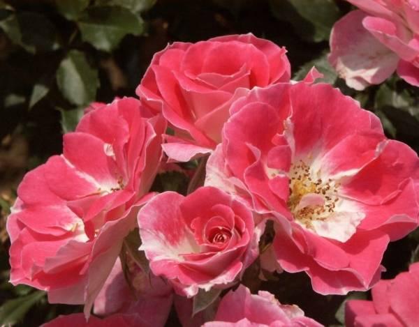 Неукрывные розы для подмосковья