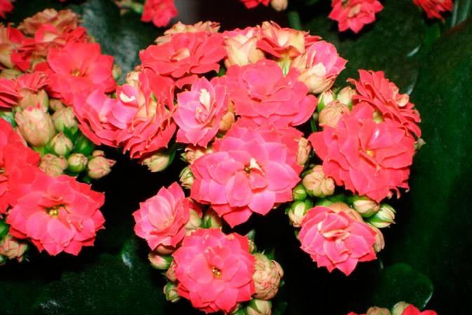 Как ухаживать за каланхоэ цветущим