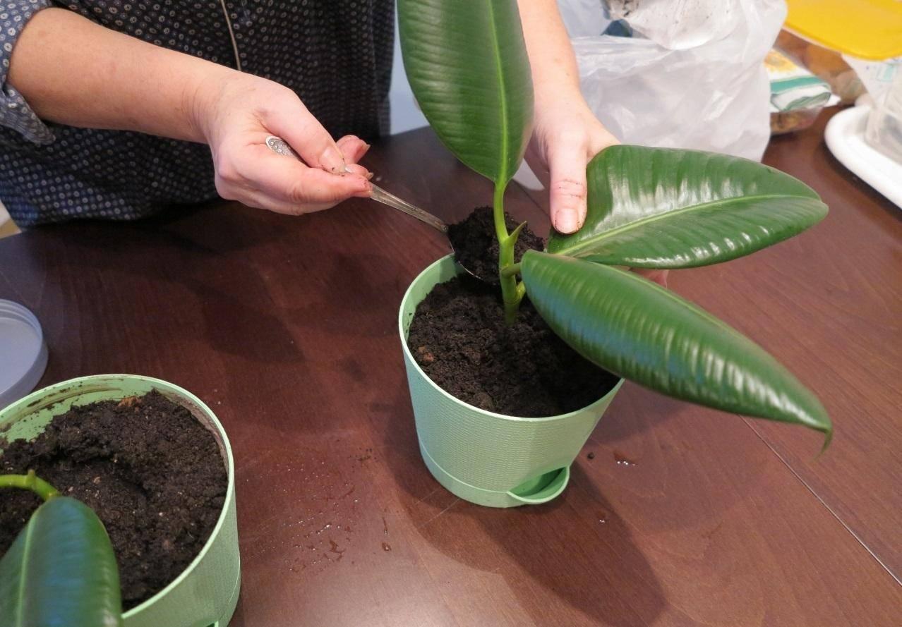 Как правильно посадить фикус в горшок