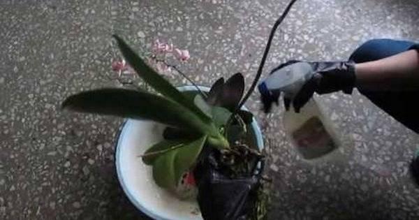 Белые жучки на орхидее