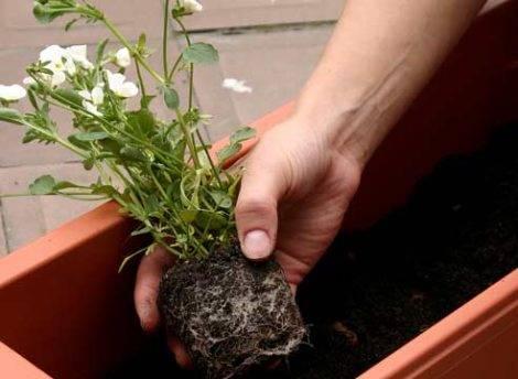 Как правильно пересаживать комнатные цветы