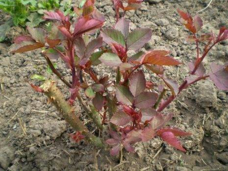 Посадить розу черенками из букета